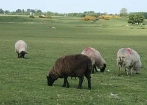 Black-Sheep-400x284